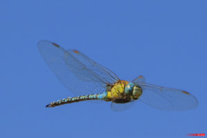 Dragonfly 1906-103