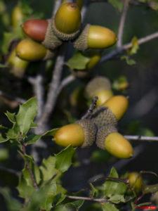 Chêne des garrigues 1911-102