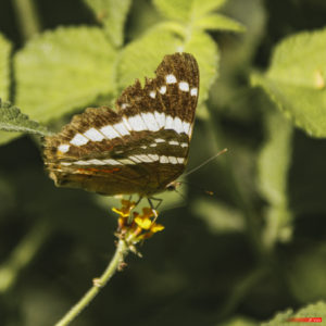 Limenitis arthemis 2101-02