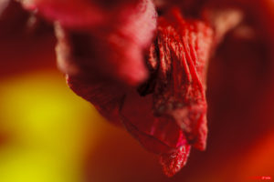 Tulip Stamen 2103-22