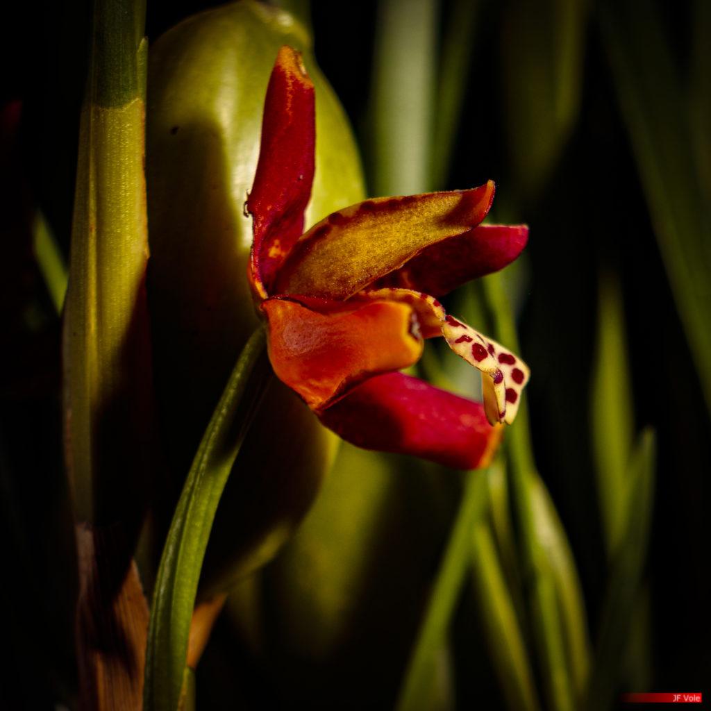 Maxilaria tenuifolia 01