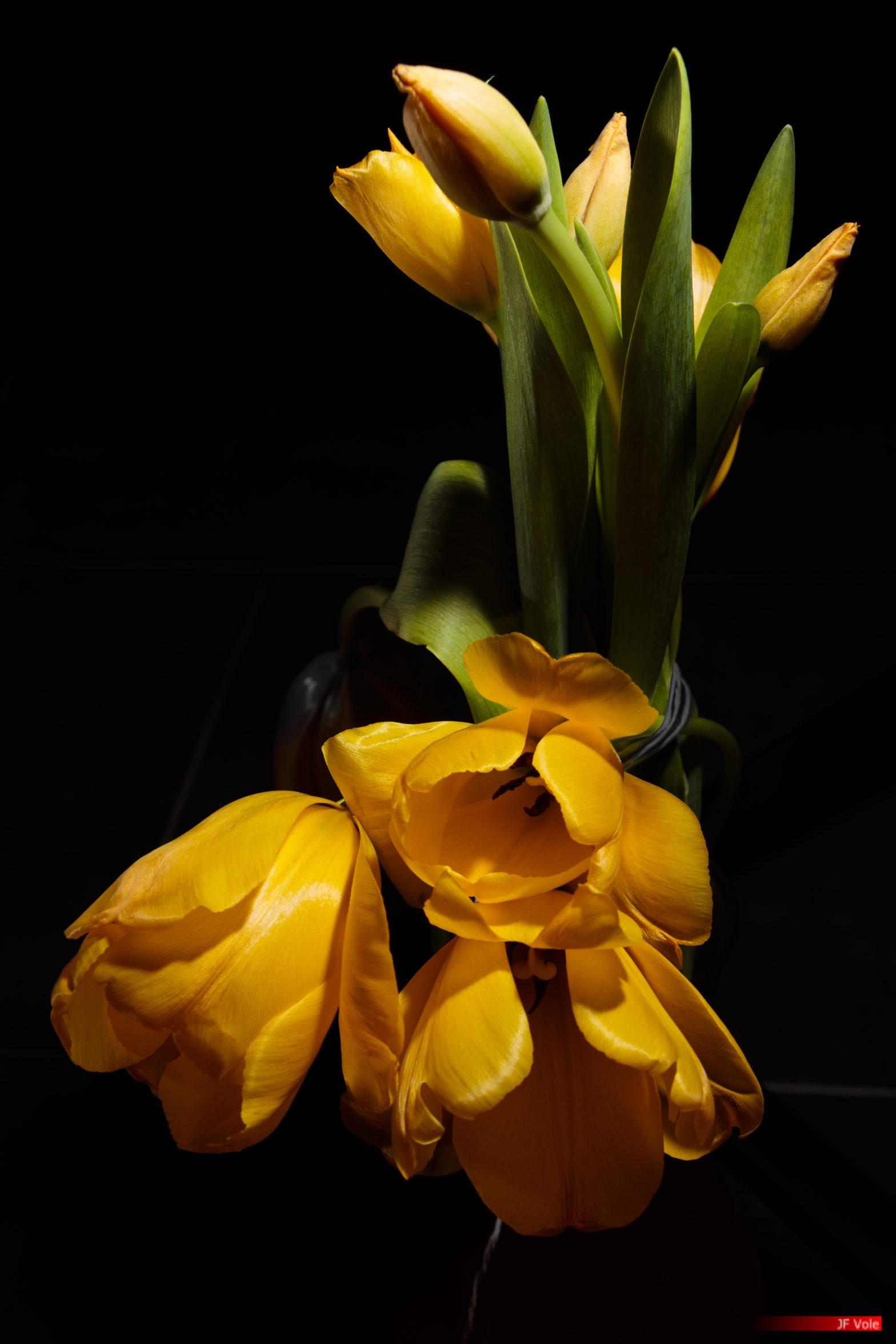 Derrière les tulipes jaunes