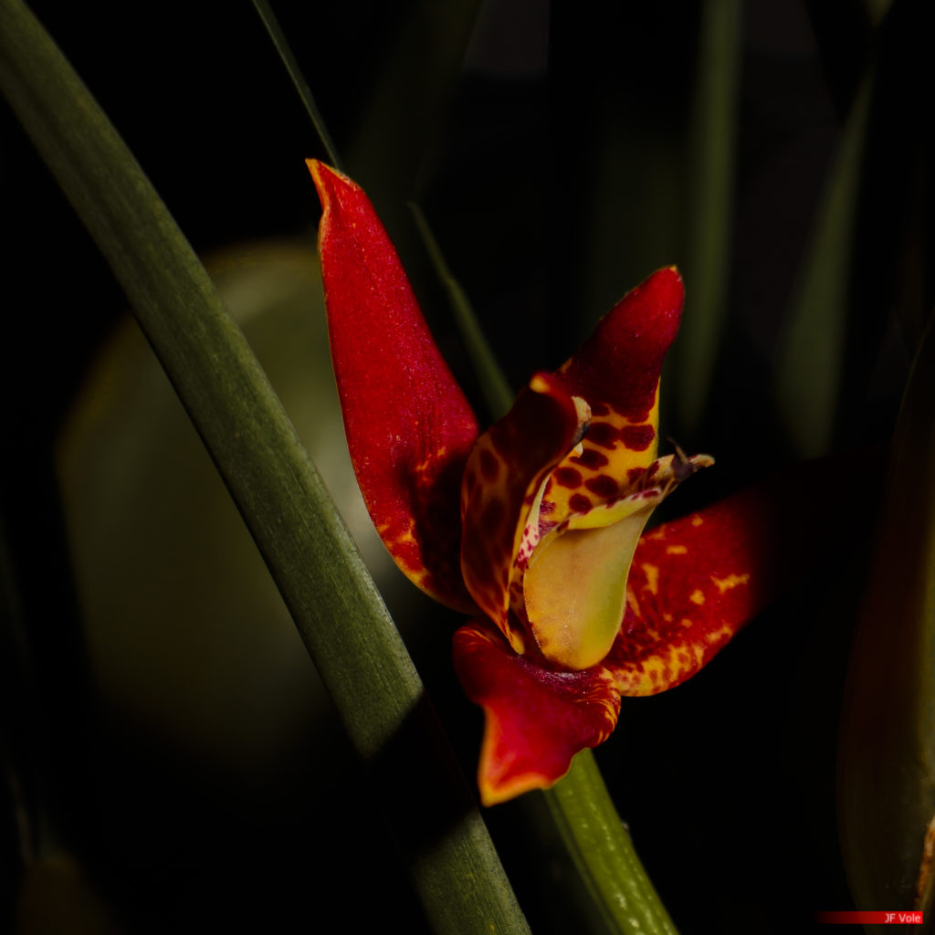Maxillaria tenuifolia 02