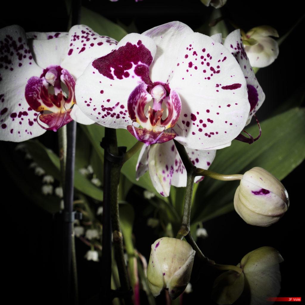 Phalaenopsis amabilis 2105-02